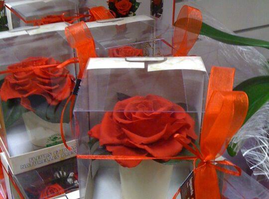 rosa liofilitzada